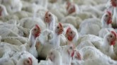 Bird flu is increasing havoc across the country