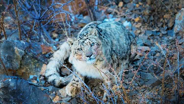 India's First Rescued Snow Leopard Cub Returns to