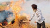 Stubble burning starts as soon as paddy is harvest