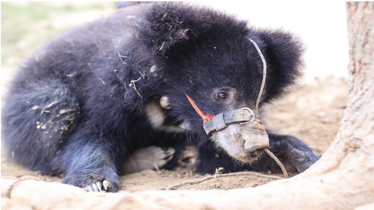 Rescued  'Nepali' Bear Denied Exit To India Over