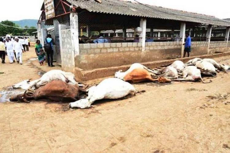 17 cow dynasty die of hunger and thirst in Madhya