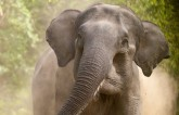 More than one human being killed by elephant attac