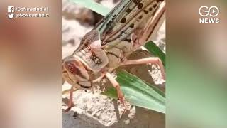 Locust Attack Spreads To Eight States, 50,000 Hect