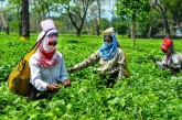 Tea production reduced due to lockdown and flood,