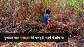 gujarats-huge-60-percent-child-labours-in-sugarcan